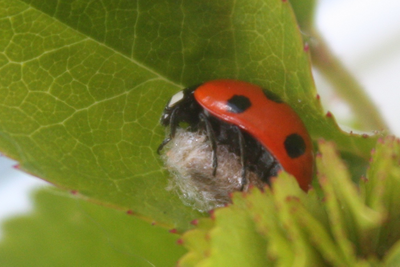 7-spot ladybird with cocoon